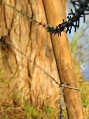 barb 1 (Mattijsje) Tags: trees tree wire bast willow bark barb barbwire prikkeldraad pollard stacheldraht willowtrees knotwilg knotwilgen knotten knotgroep