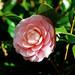 Camellia Japonica : 椿(ツバキ)