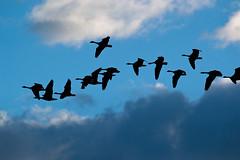 Leaving A Trail (Dreshad Williams) Tags: park sunset sky birds clouds flying geese washington wildlife birdsinflight refuge washougal photooftheday steigerwald