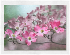 If I Could Paint...The Front Row (GAPHIKER) Tags: pink art paint dogwood blooms
