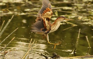 Least Bittern (Ixobrychus exilis) LEBI - One tough bird to see it out in the open. It came out with some splash or Kung Fu style - whichever you prefer:).