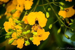 Honey Bee (Arun Solomon) Tags: flowers india flower green grass bug insect golden bangalore wing insects bee honey hour
