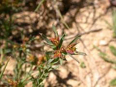 Euphorbia exigua (pelayobotanica - www.estepasyhayedos.es) Tags: verde spain plantas euphorbia aragón lamuela floraibérica euforbiáceas euphorbiaexigua terófito lechtreznaseuforbias