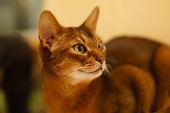 Lizzie watching Nat Geo Wild HD Channel (2) (DizzieMizzieLizzie) Tags: cats beautiful cat wonderful chats feline sony lizzie gato meow katze abyssinian gatto a7 kot photographing katt aby pisica mirrorless dizziemizzielizzie