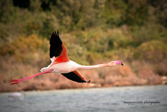 Flamingo in flight (Max Perrini alias IK7TOE) Tags: italy parco birds nikon flamingo salina avifauna taranto oasi 2015 monaci nikond300s maxperrini