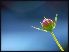 IMG_3773 Transplendent 8-20-14 (arkansas traveler) Tags: flowers nature zoom bokeh backlit cosmos backlighting bokehlicious naturewatcher