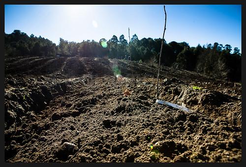 Plantación froitos do bosque en Couso