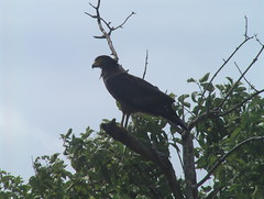 Creseted Serpent Eagle