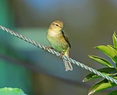"""""""zilp zalp zilp zalp zelp zilp..."""" (vil.sandi) Tags: bird portugal commonchiffchaff phylloscopuscollybita zilpzalp algavre"""