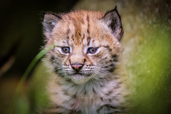 The world is so big (nemi1968) Tags: 4weeksold canon canon5dmarkiii ef100400mmf4556lisiiusm eurasianlynx gaupe langedrag lynx lynxcub lynxkitten markiii cat catfamily closeup cub kitten portrait specanimal ngc npc