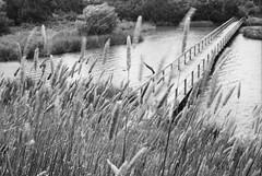 Mystic wetlands #3b (Sergiy Lenzion) Tags: blackandwhite bw painterly canonav1 film monochrome 35mm canon diy kodak outdoor australia victoria scan cm d76 negative 35mmfilm epson 135 expired perfection 35mmphotography 125 plusx gippsland selfdeveloped bwfilm 4990 av1 caffenol homemadesoup classicblackwhite kodakplusx125 film:brand=kodak filmism film:iso=100 film:name=kodakplusx125 caffenolcm bwfp filmdev:recipe=10294