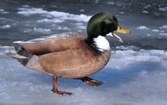 Winter Mallard Drake Hybrid (Vidterry) Tags: duck mallard hybridwinter