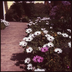 A few flowers to light your way. A happy Tuesday to you friends! (Bean*) Tags: beach self crystal tl cove velvia newport 100 pentacon expired six developed e6 arista