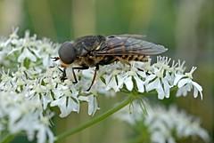 Pferdebremse 1 (DianaFE) Tags: dianafe insekt fliege spinne blume pflanze schmetterling tiefenschrfe schrfentiefe bremse makro freihandmakro