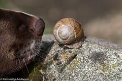 Zig Zag &  the snail (Flemming Andersen) Tags: dog denmark dk zigzag jelling regionsyddanmark