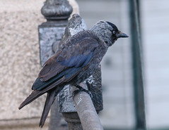 Hooded Crow, Talinen old town 2 (vern Ri) Tags: crow corvid europe