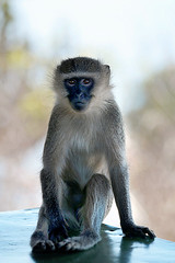 Cheeky monkey (crafty1tutu (Ann)) Tags: africa travel wild holiday animal southafrica monkey free cheeky krugernationalpark 2014 anncameron inthewild roamingfree canon100400mmlens naturethroughthelens canon5dmkiii crafty1tutu naturescarousel