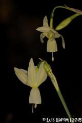 Narcissus triandrus L. (Lus Gaifm) Tags: narcissustriandrus amaryllidaceae narciso cantarinhos angelstears triandrusdaffodil bulbocodiumdaffodil lusgaifm macro natureza nature planta plantae flor flower ermida pnpg pnpenedagers