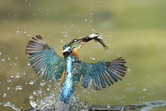 The Catch (Palnick) Tags: kingfisher nature bird wildlife blue wild colorful branch animal common alcedo fish water river beak fauna ornithology background white wing feather atthis orange portrait fishing bright beautiful closeup ecology biology lovely exotic eurasiankingfisher perch illustration watching design fly observe observation style lake natural vector male protected graphic rare clear tree