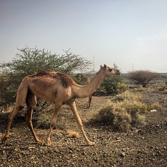 #Baby #camels are born without #humps  #sharqiya #Omani #Arabian #Asian #MiddleEastern #young #social #animal  #roaming #desert #sands  (samarkhouryofficial) Tags: baby animal asian desert young social arabian sands camels humps roaming omani sharqiya