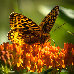 160907-50016 Great Spangled Fritillary on Butterfly Weed (POV Heartland) Tags: summer orange sun nature butterfly insect bokeh sony sunnyday fritillary butterflyweed greatspangledfritillary spangledfritillary sonyalpha a6300 fe7030mm