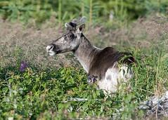 Caribou forestier - Woodland caribou (Anthony Fontaine photographe animalier) Tags: nature photographie wild life sauvage animaux nikon nikkor anthony fontaine photographe animalier