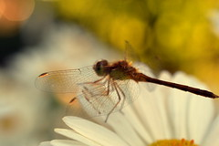 bonding (joy.jordan) Tags: dragonfly wings light bokeh pattern summer 52by52