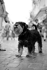 Blablablablaaaaaaa (Claudio Taras) Tags: street shadow bw black monocromo nikon bokeh schnauzer monochrom claudio biancoenero trier taras streetshot contrasto streetdog 35mm18