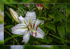 White Lily in my Garden (scorpion (13)) Tags: white lily flower blossom bud leaves plant nature garden photo frame art sun summer color creative