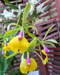 Epicattleya Rene Marques (Sylvio-Orquídeas) Tags: orquídeas orchids orchidaceae híbridos flores flowers hybrids epicattleya rene marques