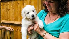 IMG_7854.jpg (Mark Rainbird) Tags: uk england canon puppy claire unitedkingdom retriever charlie powershots100 popeswood