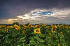 Field of Suns (ChrisTalentfrei) Tags: sunflowers rainstorm cloudy summer sonnenblumen regenwetter sun sommer juli july field feld sony a7 sonyalpha ilce7 sigmalens sigma 20mm sonnenuntergang dusk sundown lightbeam clouds wolkig wolken