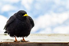 In alta quota (balboni.antonella) Tags: animali uccello uccelli volatili photo animale corvo cornacchia becco natura freddo montagna volo