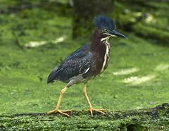 071216117323asmweb (ecwillet) Tags: greenheron heron wildwoodparkharrisburgpa ecwillet ericwillet nikon nikond800e