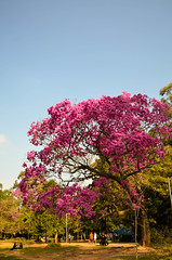have a nice day! (Danielle Cassita) Tags: pink nature park ibirapuera so paulo brasil brazil tree flower blossom sky blue