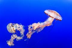 Monterey - USA (SilAnge) Tags: blue water sea wildlife dangerous