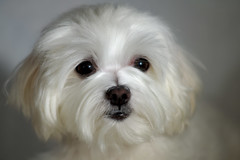 15872 - Kira (Diego Rosato) Tags: kira cani animali dogs pets nikon d700 gimp 85mm kenko telconverter luci lights primo piano