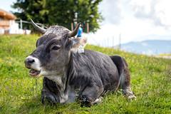 Lucky calf? (biglo_de) Tags: bokeh auffach koglmoos wildschnau austria sterreich thierbach oberau niederau wrgl tal berg mountain house houses huser haus berghuser schatzberg mittelstation