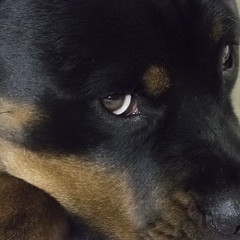 "The Eye (G. H. ""Jerry"" White) Tags: 12800 iso lumix fz1000 lowlight lightroom rottie bella dog black eye"