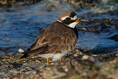_F0A7196.jpg (Kico Lopez) Tags: asturias castropol charadriushiaticula chorlitejogrande eo hide spain aves birds rio