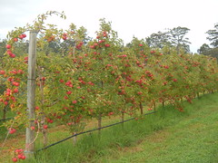 DSCN0384 (mavnjess) Tags: 1 may 2016 cripps pink lady apples orchard red black white bw sacha cin lucinda giblett cooking hibiscus compost composting compostbays chestnuts chestnut tree train carriages rainbow trolley bus trolleybus carriage