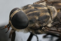 Horse Fly close up (Explore) (Klaus Ficker --Landscape and Nature Photographer--) Tags: horsefly insect closeup macro zerenestacker usa kentucky kentuckyphotography klausficker canon eos5dmarkii