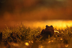 Common Frog, Bristol, Ian Wade (Disorganised Photographer - Ian Wade - Travel, Wil) Tags: lake night long exposure ian wade colour great britian wild water britain eos 5d mark 11 ef24105mm chew valley iso land orange pof anomal animal back ghround photpgraphy photo photography wildlife nature love
