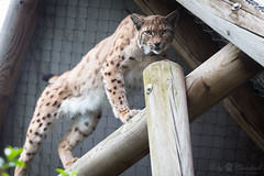 The lynx above (Cloudtail the Snow Leopard) Tags: luchs zoo karlsruhe tier animal mammal sugetier katze cat feline lynx