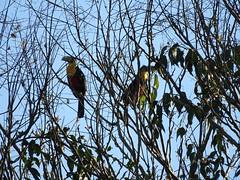 Tucano (avelinomorganti) Tags: bird passaro tucano natureza floresta rvore tree florest amazon brazil brasil jungle toucan