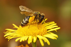 Andrena flavipes, female on Pulicaria dysenterica at Ploegsteert (henk.wallays) Tags: