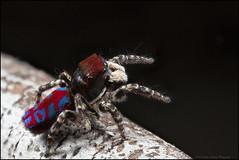Maratus bubo 1 (GTV6FLETCH) Tags: maratus peacockspider spider jumpingspider macro macrophotography manualfocus mpe65mm maratusbubo canon canoneos5dmark2 canonmpe65 canonmpe65mm15xmacro westernaustralia