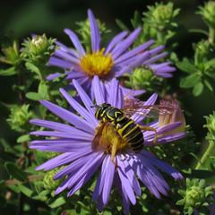 enjoying the bounty (mimbrava) Tags: hoverfly spilomyialongicornis newenglandaster arr allrightsreserved mimeisenberg mimbrava mimbravastudio