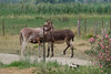 11072016-DSCF4921-2 (Ringela) Tags: åsna equus africanus asinus donkey âne commun camargue juli 2016 france domestic fujifilm fuji xt1 animals
