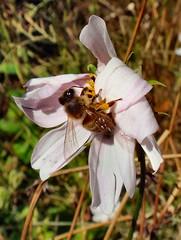 Cosmean Autumn. Apis mellifera, Honeybee, on Cosmea, Cosmos bipinnatus, Hortus Botanicus, Amsterdam, The Netherlands (Rana Pipiens) Tags: cosmea cosmosbipinnatus apismellifera honeybee hortusbotanicusamsterdamthenetherlands tseliot spring autumn nectar pollen bee birth dying